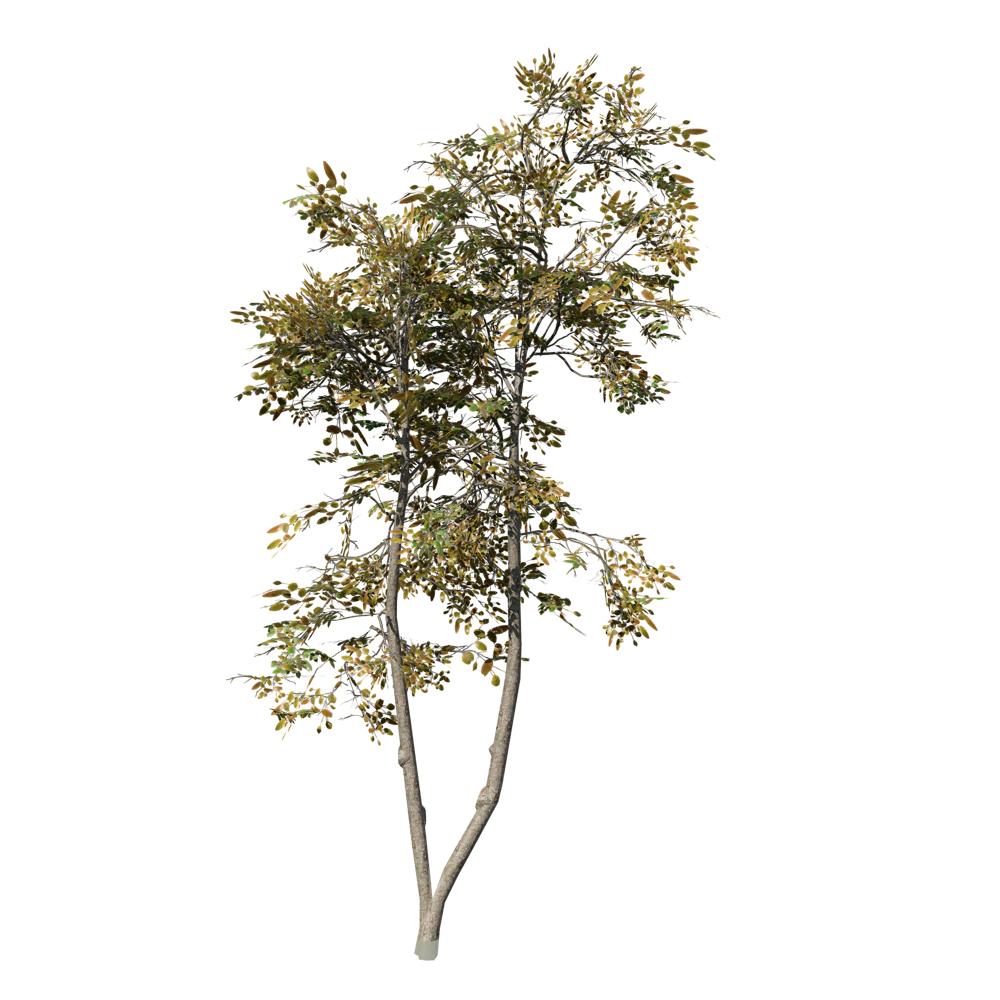 Tropical Almond (Desktop): Forest