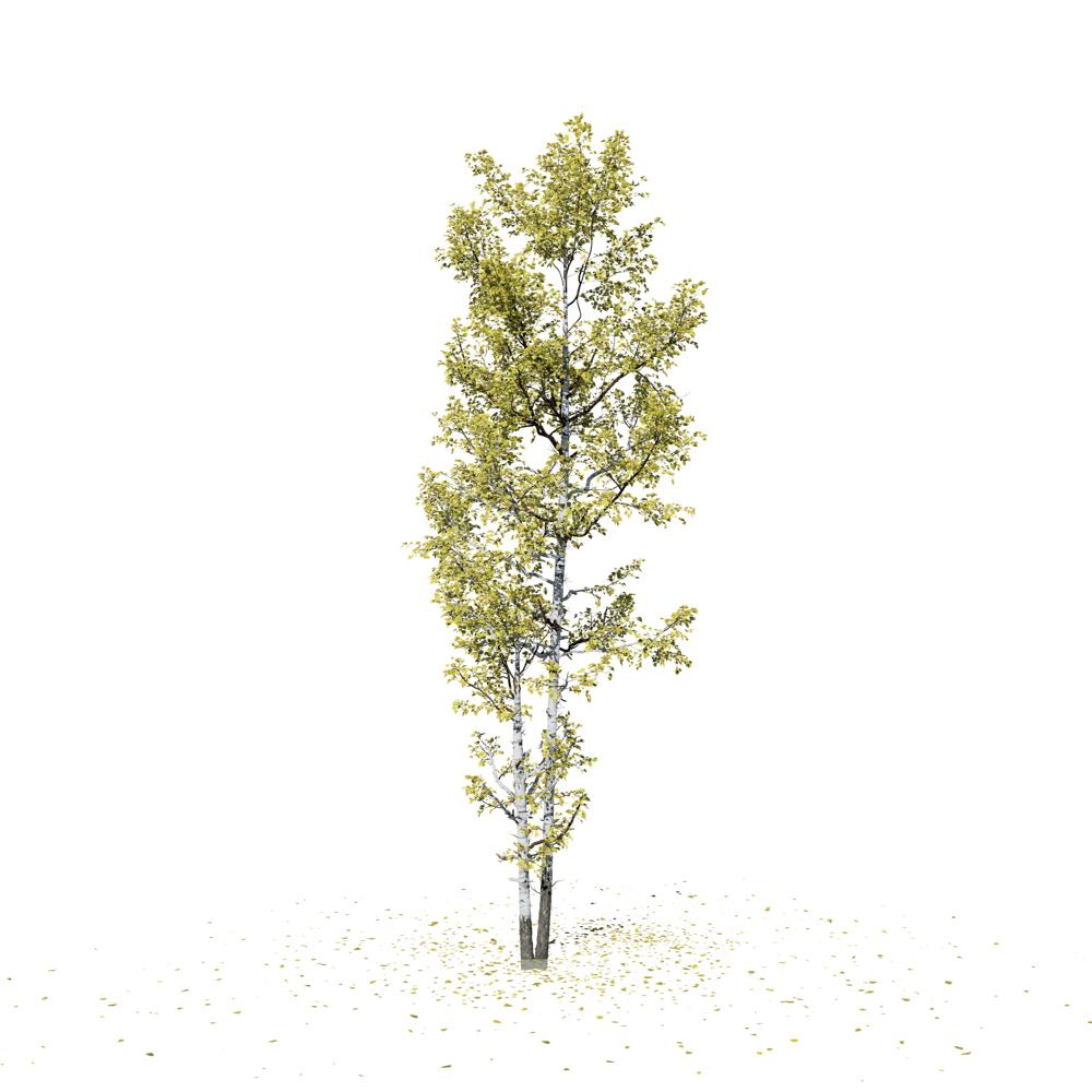 Quaking Aspen: Forest (Bifurcated Trunk)