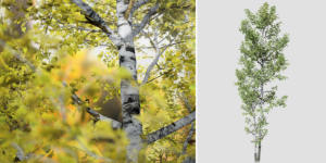 Quaking Aspen: Forest (Bifurcated Trunk)