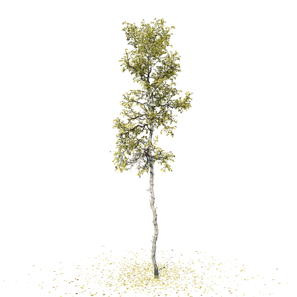Quaking Aspen: Forest (Jagged Trunk)