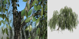 Weeping Beech: Desktop (Bankside)