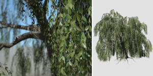 Weeping Beech: Desktop (Field)