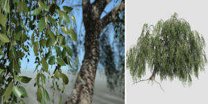 Weeping Beech: Hero (Bankside)