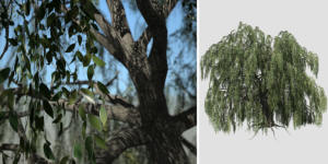 Weeping Beech: Hero (Field)