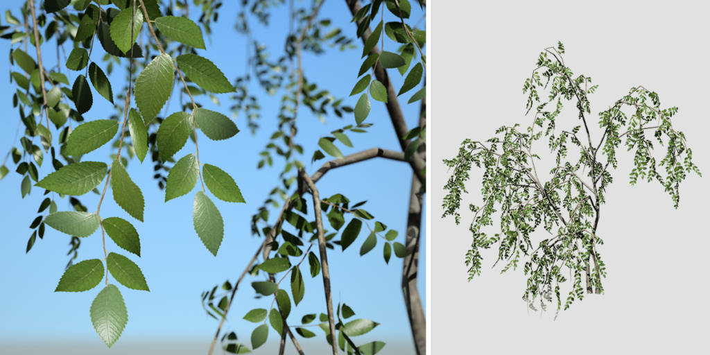 Weeping Beech: Seedling