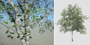 Paper Birch: Desktop Field