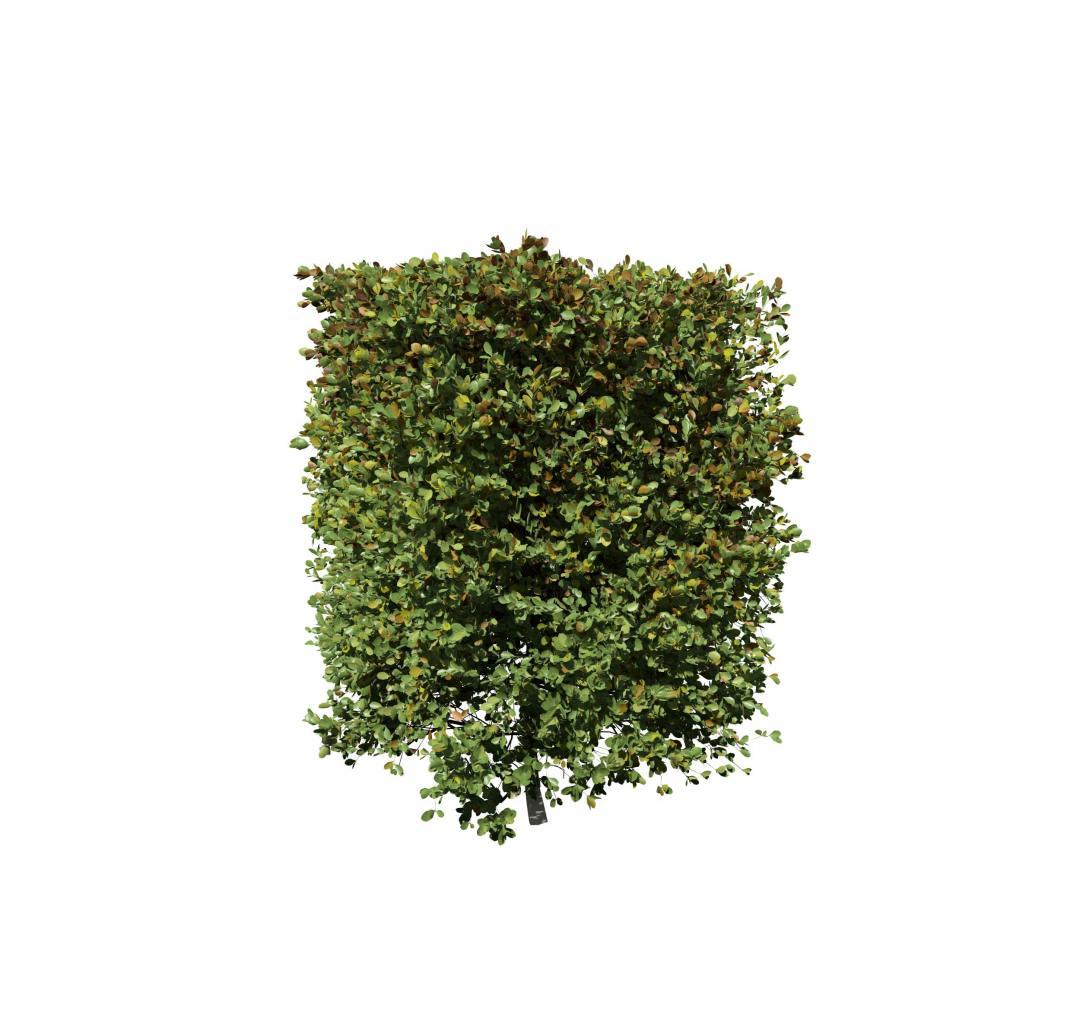 Top Boxwood: Square Hedge - SpeedTree KX15