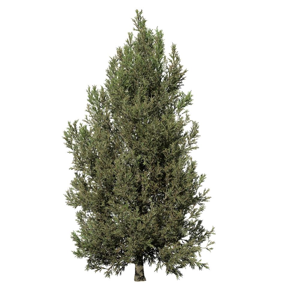 Japanese Cedar: Field