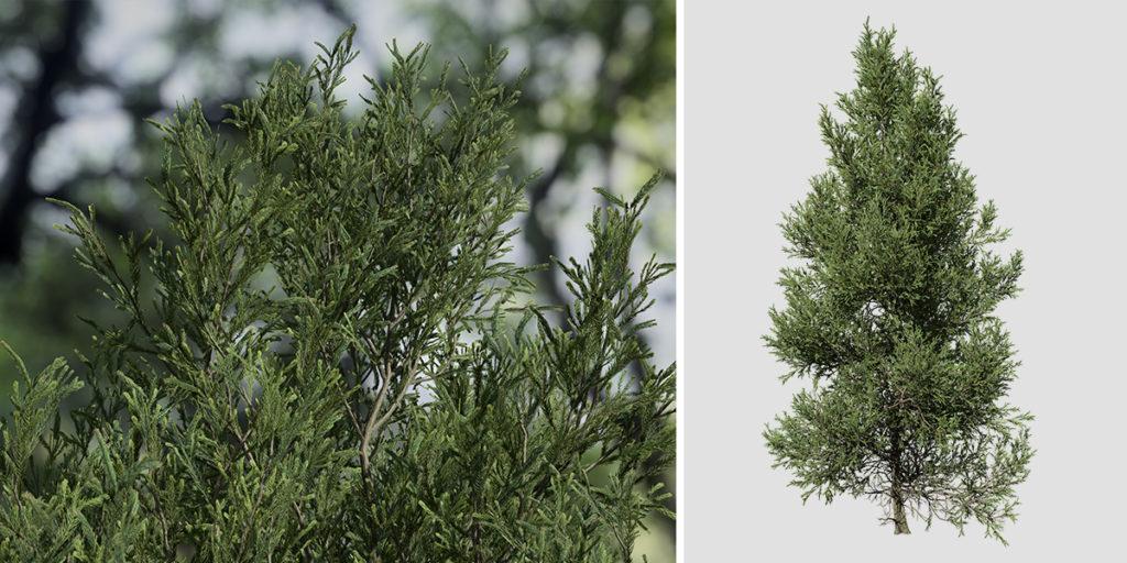 Japanese Cedar: Field (Jagged)