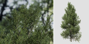 Japanese Cedar: Field (Jagged)