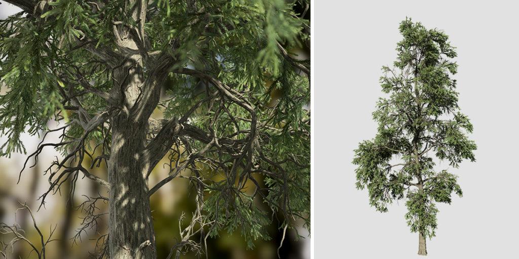 Japanese Cedar: Forest