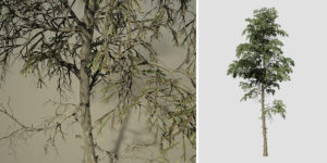 Japanese Cedar: Forest (Sparse)