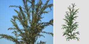 Japanese Cedar: Sapling