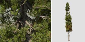 Italian Cypress: Field (Weathered)