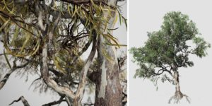 Red Gum Eucalyptus: Field