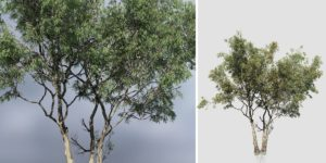 Red Gum Eucalyptus: Forest (Multi Trunk)