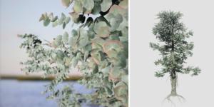 Silver Dollar Eucalyptus: Field