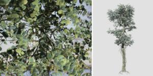Silver Dollar Eucalyptus: Forest