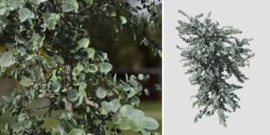 Silver Dollar Eucalyptus: Sapling