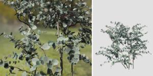 Silver Dollar Eucalyptus: Seedling