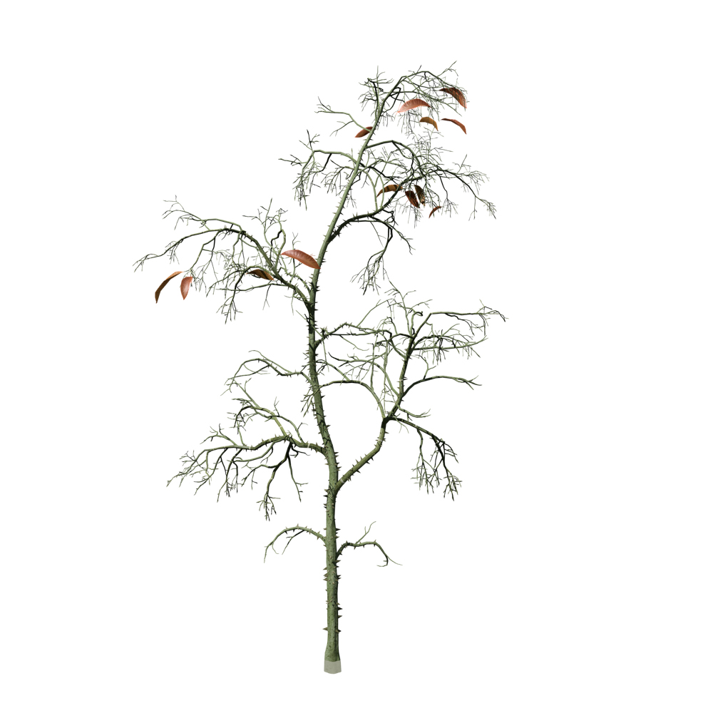Kapok Seedling