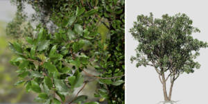 Cherry Laurel: Field (Oval)