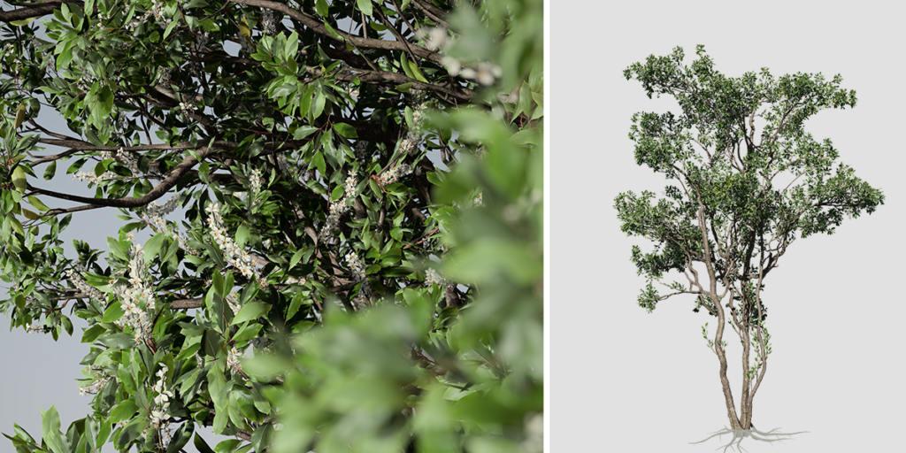 Cherry Laurel: Forest