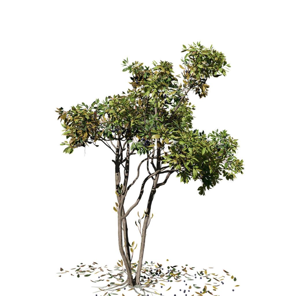 Cherry Laurel: Sapling