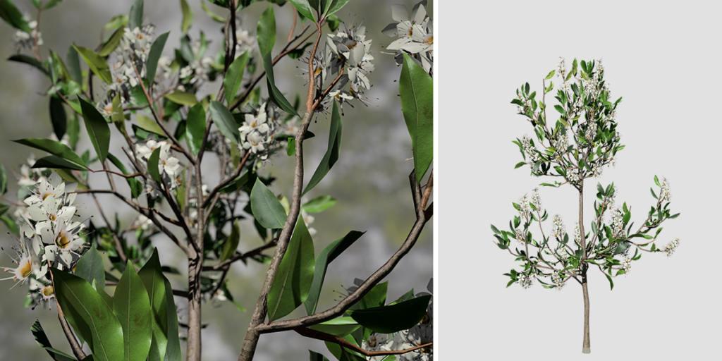 Cherry Laurel Species Pack