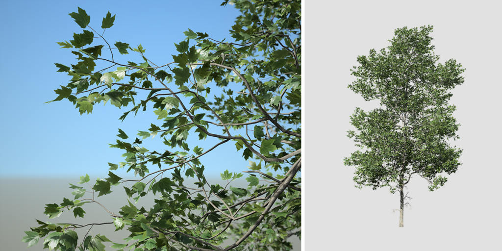 London Plane: Young