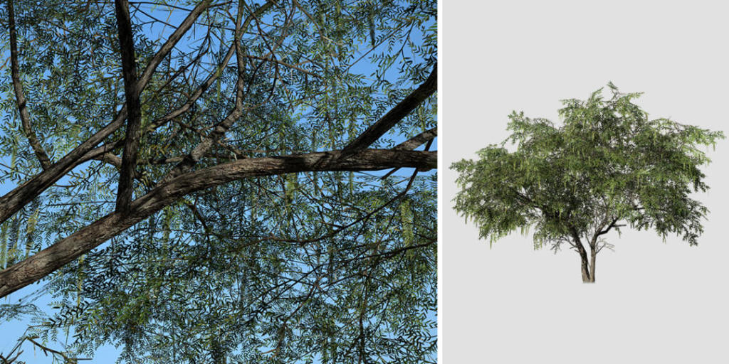 Honey Mesquite: Desktop (Field)
