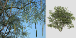 Honey Mesquite: Desktop (Forest)
