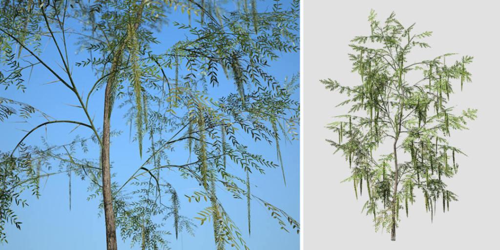 Honey Mesquite Seedling