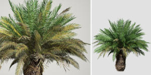 Sago Palm: Field (Spread)