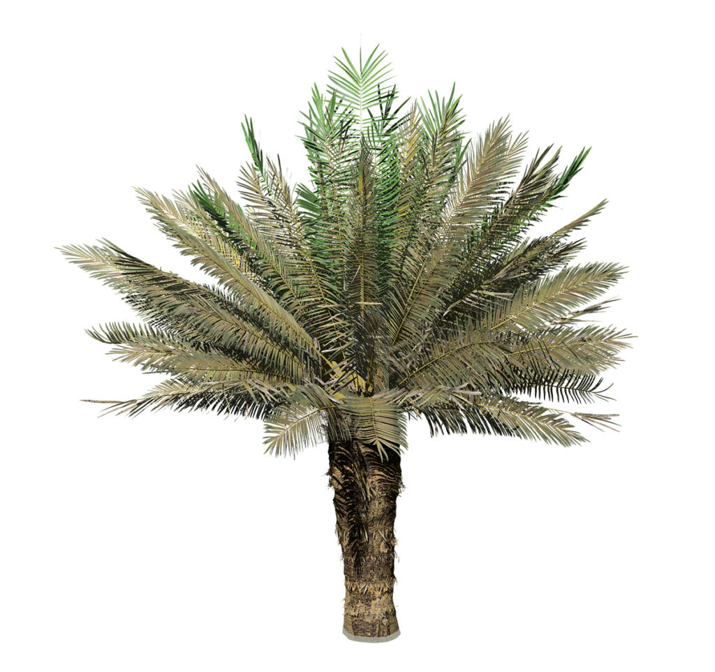 Sago Palm: Field (Upright)