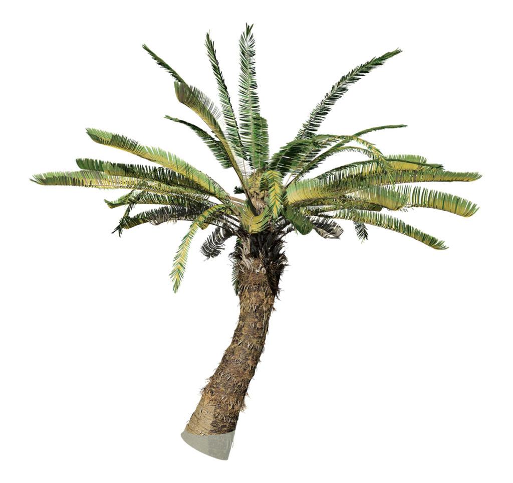 Sago Palm: Jungle (Spread)