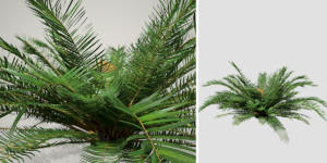 Sago Palm: Jungle (Ground)