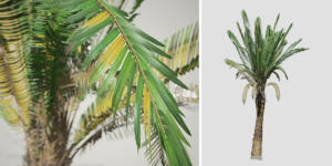 Sago Palm: Jungle (Upright)