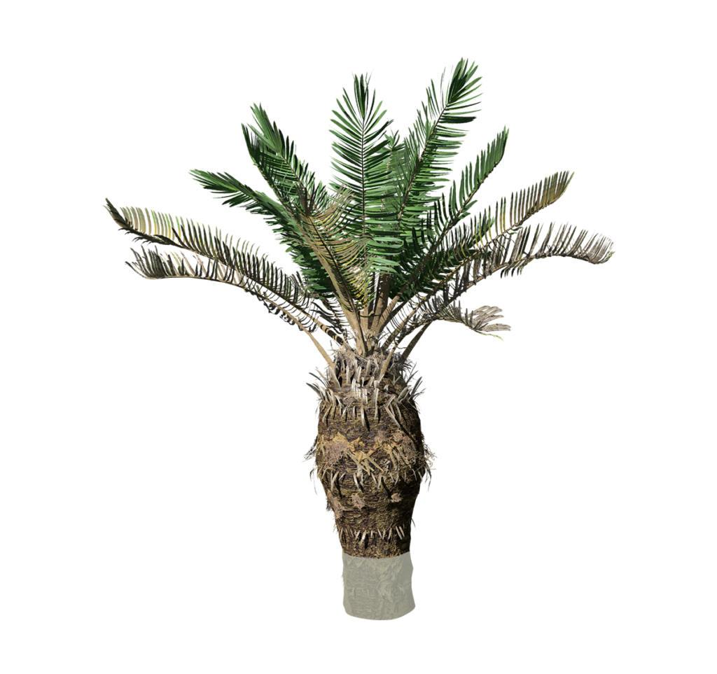 Sago Palm (Sapling)