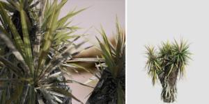 Yucca Palm Sapling