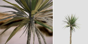Yucca Palm Seedling