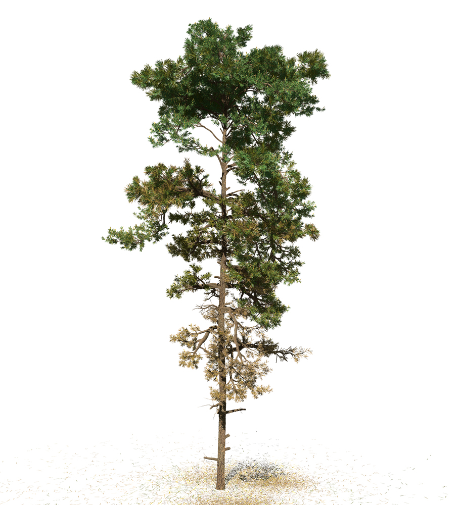 Scots Pine: Field