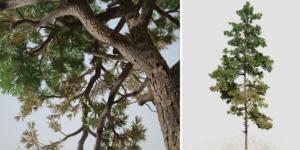 Scots Pine: Field (Pyramidal)