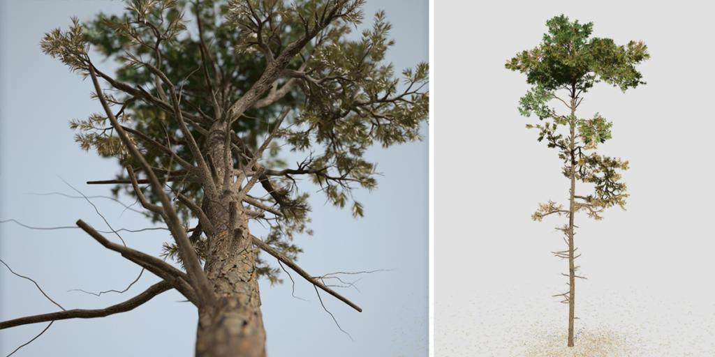 Scots Pine: Forest (Umbrella Canopy)