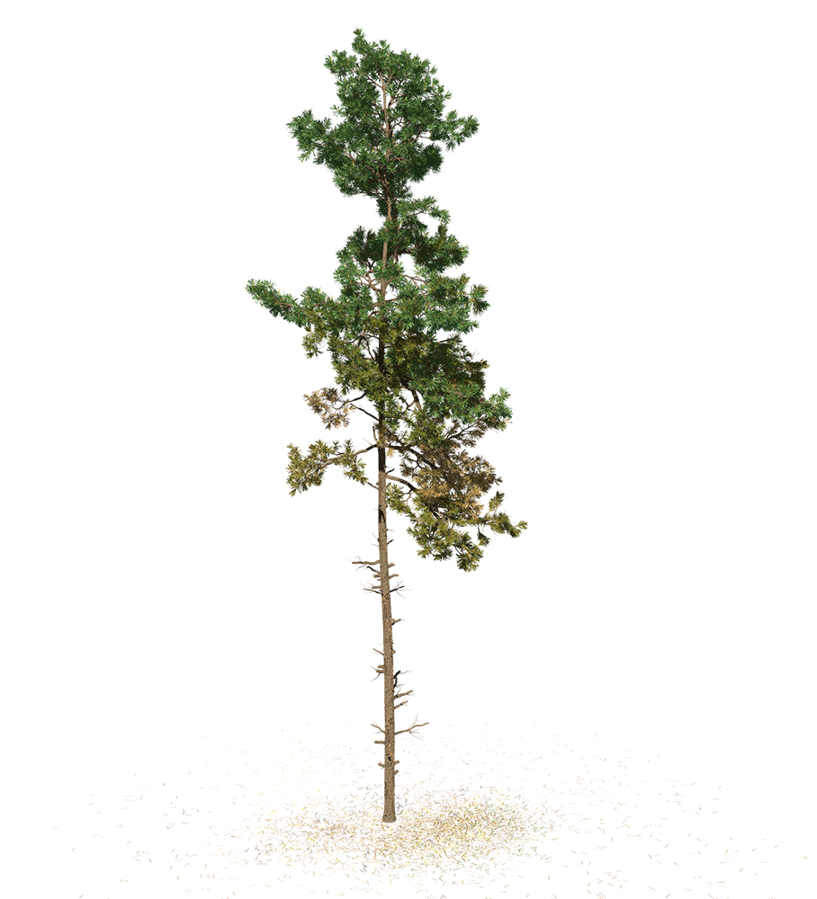Scots Pine: Forest