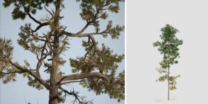 Scots Pine: Sapling