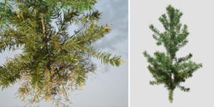 Scots Pine: Seedling