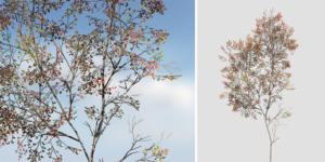 Red Maple: Desktop Forest Filler 2