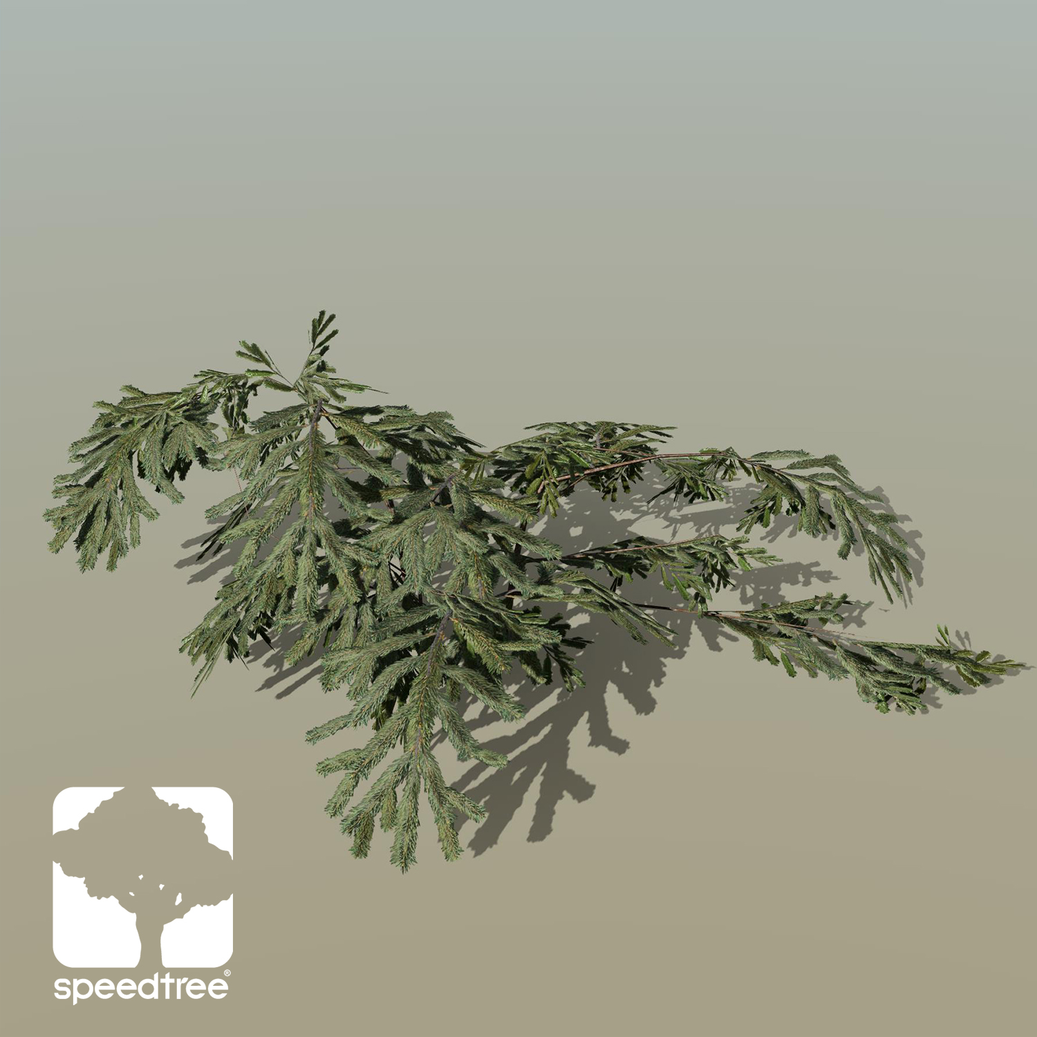 White Spruce Species Pack