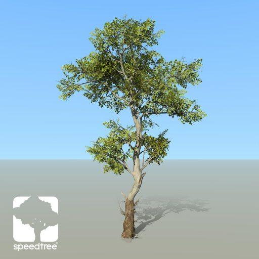 Sycamore_American_desktop_2_spring